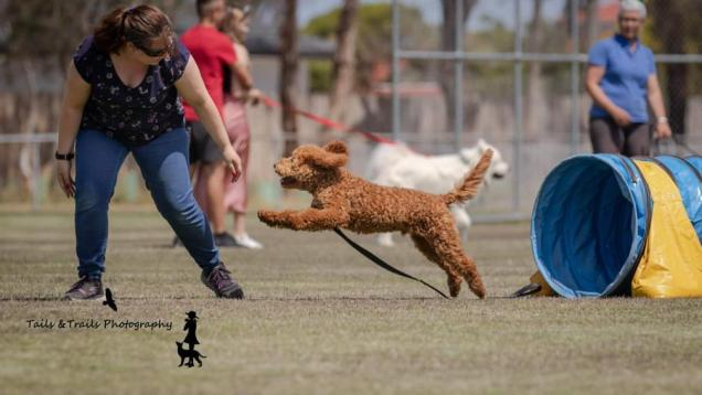 Teddy the Groodle is so clever and loves obedience school! He can already drop, sit, heel, spin, high 5, shake hands as well as toilet trained! Photo Credit: Tails & Trails Photography
