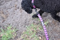 Mame-Poodle-Banksia Park Puppies - 1 of 45