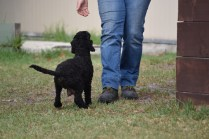 Mame-Poodle-Banksia Park Puppies - 11 of 45