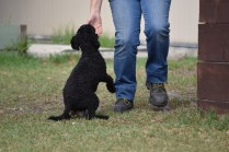 Mame-Poodle-Banksia Park Puppies - 12 of 45