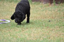Mame-Poodle-Banksia Park Puppies - 19 of 45