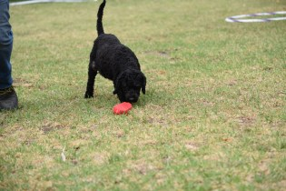 Mame-Poodle-Banksia Park Puppies - 24 of 45