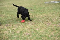 Mame-Poodle-Banksia Park Puppies - 25 of 45