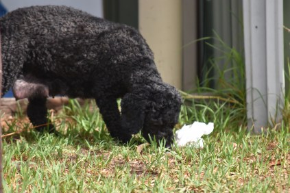 Mame-Poodle-Banksia Park Puppies - 38 of 45