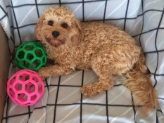 Mia couldn't choose between which colour BPP Puppy Pouncer she wanted to play with! @evie_mia_k_cavoodles