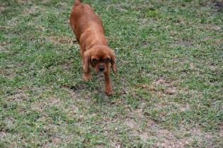 Nola-Cavalier-Banksia Park Puppies - 12 of 21