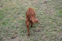 Nola-Cavalier-Banksia Park Puppies - 16 of 21