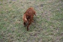 Nola-Cavalier-Banksia Park Puppies - 17 of 21