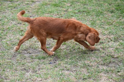 Pip-Cavalier-Banksia Park Puppies - 15 of 30