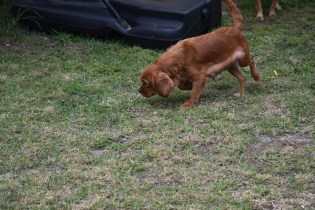 Pip-Cavalier-Banksia Park Puppies - 16 of 30