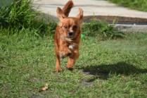 Vixen-Cavalier- Banksia Park Puppies - 1 of 44