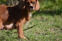 Vixen-Cavalier- Banksia Park Puppies - 43 of 44