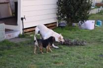 Comet-Labrador-Banksia Park Puppies - 3 of 43