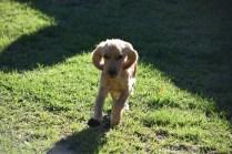 Zona-Cocker Spaniel-Banksia Park Puppies - 14 of 30