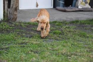 Zona-Cocker Spaniel-Banksia Park Puppies - 18 of 30