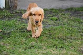 Zona-Cocker Spaniel-Banksia Park Puppies - 20 of 30