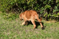 Zona-Cocker Spaniel-Banksia Park Puppies - 22 of 30