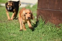Zona-Cocker Spaniel-Banksia Park Puppies - 26 of 30