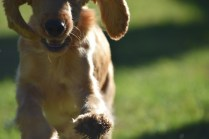 Zona-Cocker Spaniel-Banksia Park Puppies - 5 of 30