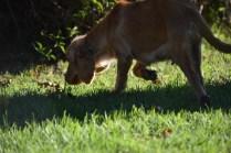Zona-Cocker Spaniel-Banksia Park Puppies - 8 of 30