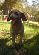 ALVIN - Bankisa park puppies - 1 of 16 (14)