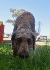 CHILLI - Bankisa park puppies - 1 of 20 (2)