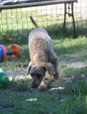 CHILLI - Bankisa park puppies - 1 of 20 (6)