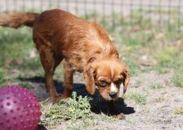 PEACHES - bankisa park puppies - 1 of 28 (19)