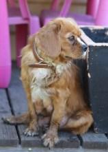 PEACHES - bankisa park puppies - 1 of 28 (23)