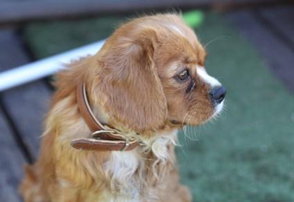 PEACHES - bankisa park puppies - 1 of 28 (26)