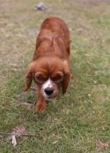 JOY - Bankisa park puppies - 1 of 35 (14)