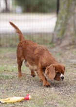 JOY - Bankisa park puppies - 1 of 35 (30)