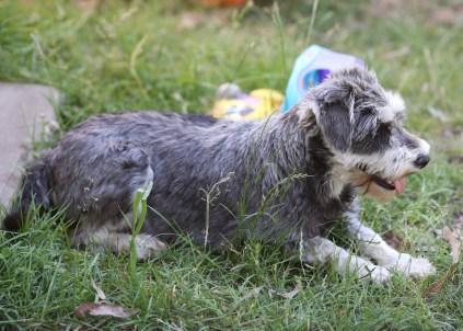 FLEUR - banksia park puppies - 1 of 60 (1)