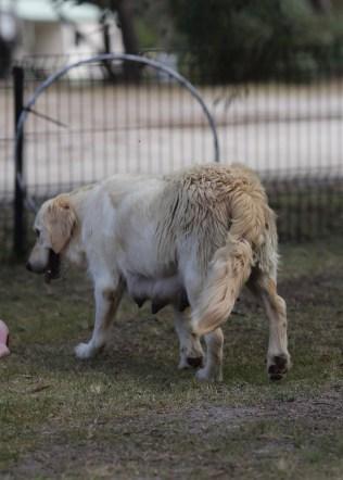 ODIE - Bankisa Park puppies - 1 of 57 (15)