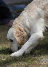 ODIE - Bankisa Park puppies - 1 of 57 (31)