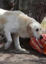 ODIE - Bankisa Park puppies - 1 of 57 (43)