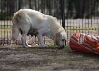 ODIE - Bankisa Park puppies - 1 of 57 (52)