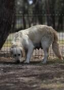 ODIE - Bankisa Park puppies - 1 of 57 (56)