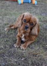 bunny - bankisa park puppies - 1 of 31 (4)