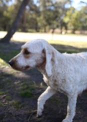 Adelaide - Banksia park puppies - 1 of 46 (2)