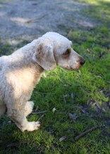 Adelaide - Banksia park puppies - 1 of 46 (20)