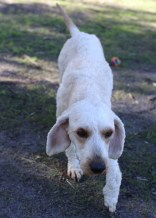 Adelaide - Banksia park puppies - 1 of 46 (39)