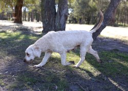 Adelaide - Banksia park puppies - 1 of 46 (7)
