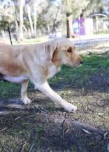 IVY - banskia park puppies - 1 of 50 (30)