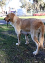 IVY - banskia park puppies - 1 of 50 (5)