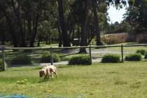 Banksia Park Puppies Isla3