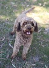 BOBBLES - Bankisa park puppies - 1 of 20 (1)