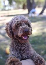 BOBBLES - Bankisa park puppies - 1 of 20 (10)