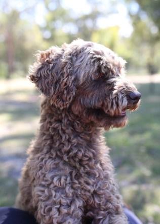 BOBBLES - Bankisa park puppies - 1 of 20 (15)