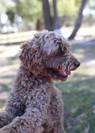 BOBBLES - Bankisa park puppies - 1 of 20 (16)